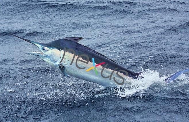 Nexus Marlin
